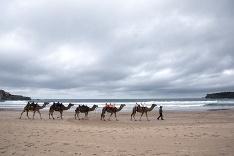 Ťavy na pláži