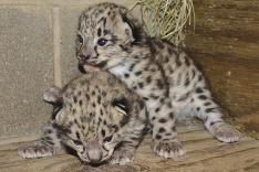 V Richmondskej Zoo sa narodili dve mláďatká vzácneho Leoparda snežného.