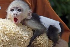 Zívajúca opička