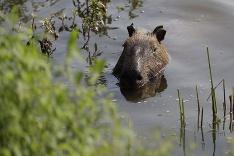 Kapybara sa chladí vo vode