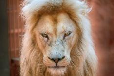 Lev biely Ludwig