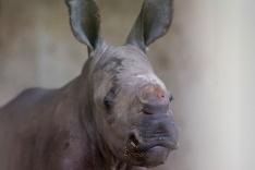 Novonarodené mláďa nosorožca bieleho