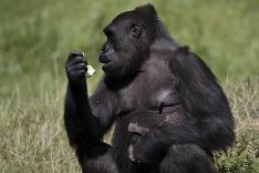 Gorila Honi a jej novonarodené mláďa