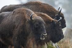 Tajomstvo európsky bizónov