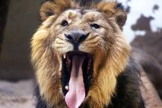 Zívajúci lev