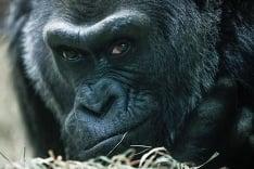 Odpočinok gorily nížinnej