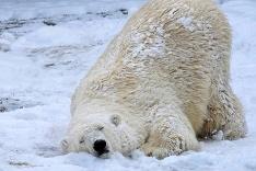 Ľadový medveď si užíva sneh