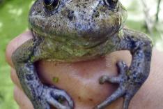 V Kalifornii objavili vzácny druh žaby Rana draytonii.