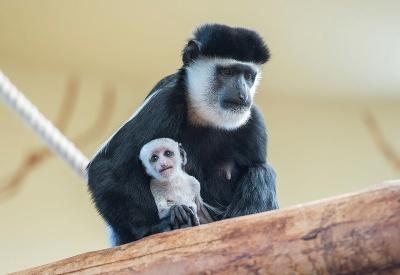 Mláďatko guarézy pláštikovej s matkou