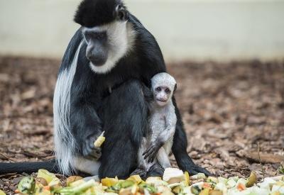 Opica s jej týždňovým mláďatkom