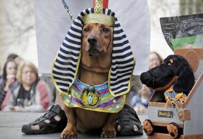 Jazvečík v kostýme egyptskej sfingy