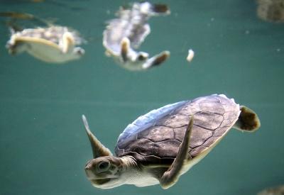 Zachránené korytnačky
