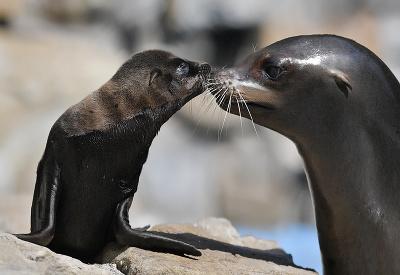 Mláďa uškatca kalifornského s matkou
