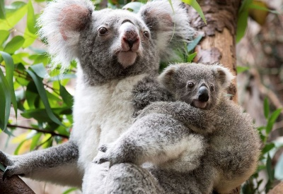 Mláďatko koaly s matkou