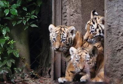 Mláďatá tigra mali premiéru