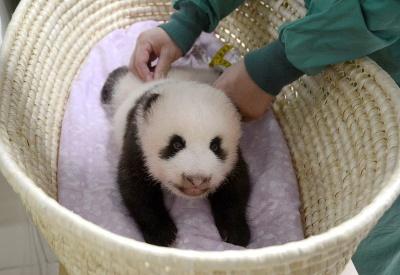 Mláďa pandy obrovskej