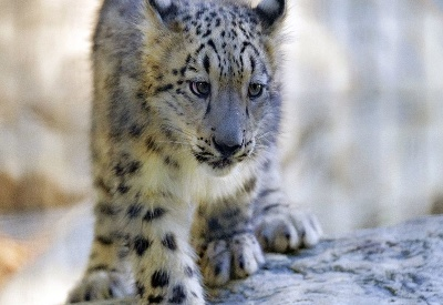 Mláďa Leoparda snežného