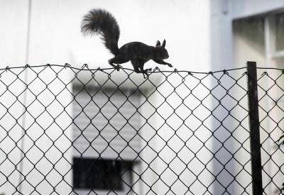 Veverica na plote