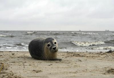Tuleň na pláži