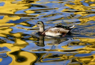 Kačica pláva po hladine rieky Allegheny