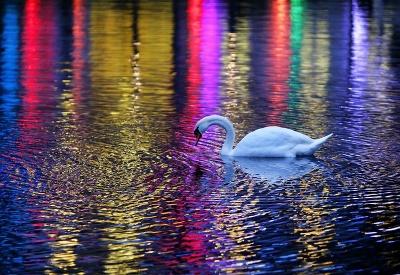 Krásna labuť