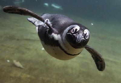 Tučniak okuliarnatý