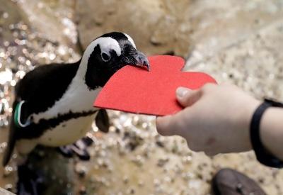 Deň sv. Valentína aj u tučniakov