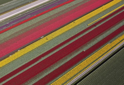 Tulipánový koberec