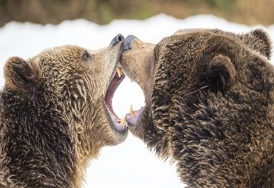 Súboj medveďov