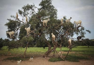 Kozy v úlohe stromolezcov