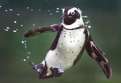 Tučniak okuliarnatý si užíva deň