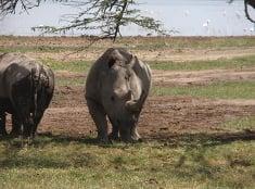 Nosorožce pri jazere Nakuru