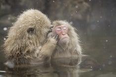 Kúpuce sa japonské opice