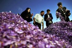 Zber šafranu v Iráne