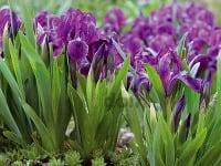 Fialové kvety v záhrade