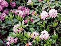 Veľké kvety rododendronu sa
