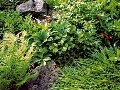 Skoro kvitnúca čemerica je