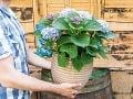 Ako pestovať hortenzie v