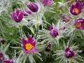 Trvalky acibuľoviny skvetmi vmodrých
