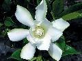 Kvety exoticky pôsobiacej gadénie