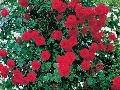 Popínavé ruže premenia pergolu