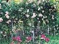 Pôsobivý bielo kvitnúci kultivar