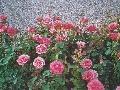 Záhonové ruže sú zaujímavé