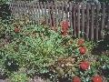 Ruže sa pestujú od