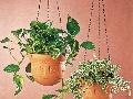 Rastliny v závesných nádobách