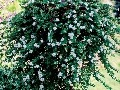 Bakopa vytvorí nádherné kvetinové