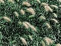 Okrasným trávam suchá pôda