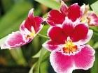 Orchidey patria k mimoriadne