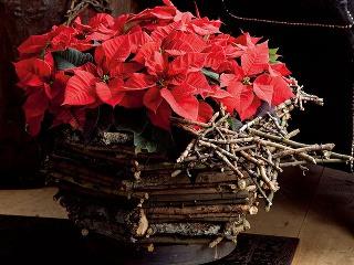 TIP čitateľa:  Ako udržať vianočnú hviezdu sviežu V tomto období sú kvetinárstva plné črepníkovej rastliny typickej pre advent – vianočnej hviezdy. Príťažlivé sú najmä jej sýto sfarbené listene (červené, bordové, ružové...), ktoré chránia drobné kvety.