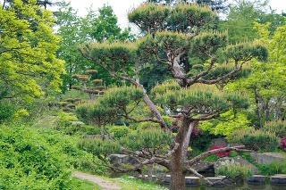 Veľké záhradné bonsaje sú